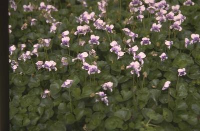 Klimopviooltje - Viola hederacea