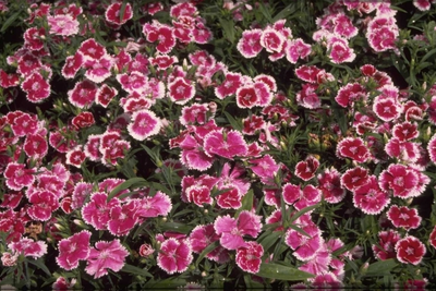 Chinese Anjer - Dianthus chinensis 'Violet Picotee'