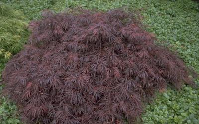 Japanse Esdoorn - Acer palmatum 'Crimson Queen'