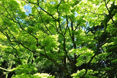 Esdoorn - Acer japonicum aureum