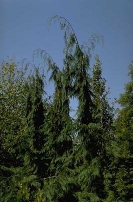 Californische cipres - Chamaecyparis lawsoniana 'Dik's Weeping'