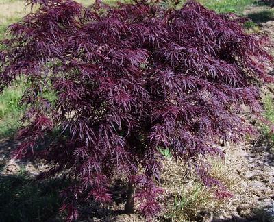 Japanse Esdoorn - Acer palmatum 'Inaba shidare'