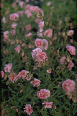Zonneroosje - Helianthemum 'Rose of Leeswood'