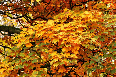 Gewone Esdoorn - Acer pseudoplatanus 'Atropurpureum'
