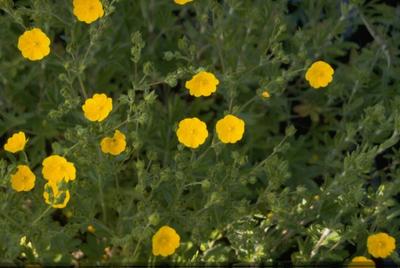 Breemd Ooievaarsbek - Geranium pratense 'Yorkshire Queen'