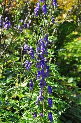 Aconitum 'Bressingham Spire'