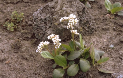 Schoenlappersplant - Bergenia stracheyi 'Alba'