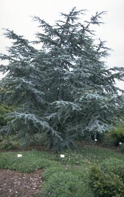 Libanon Ceder - Cedrus libani 'Glauca'