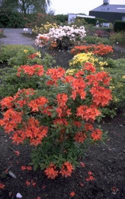 Rododendron - Rhododendron 'Balzac'