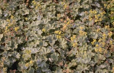 Ridderspoor - Delphinium 'Ouvertüre'