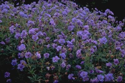 Beemdooievaarsbek - Geranium pratense 'Plenum Caeruleum'