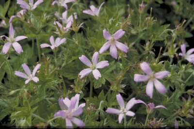 Ooievaarsbek - Geranium x oxonianum 'David McClintock'