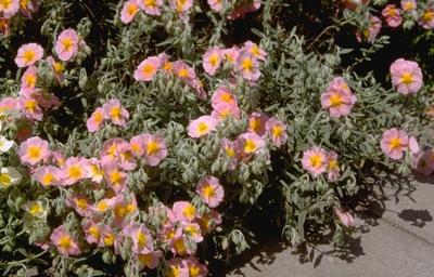 Zonneroosje - Helianthemum 'Wisley Pink'