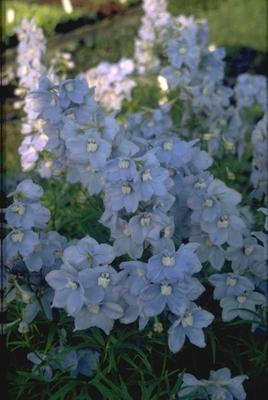 Ridderspoor - Delphinium 'Cliveden Beauty'