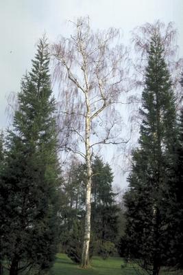 Ruwe Berk - Betula pendula 'Tristis'