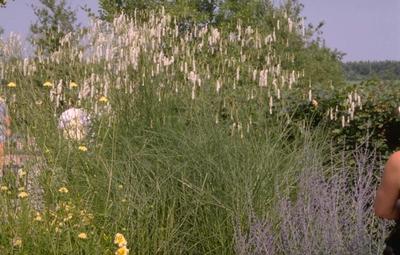 Sanguisorba tenuifolia var. alba