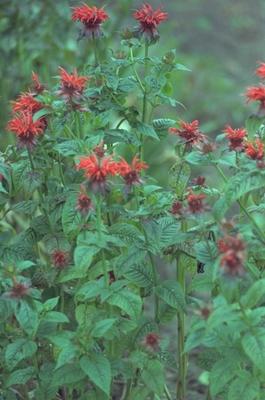Bergamotplant - Monarda 'Adam'