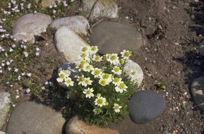 Anemoon - Anemone narcissiflora var. crinita