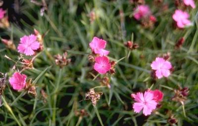 Kartuizer anjer - Dianthus carthusianorum var. humilis