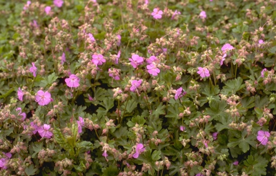 Ooievaarsbek - Geranium x cantabrigiense 'Cambridge'