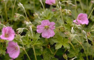 Ooievaarsbek - Geranium x riversleaianum 'Russell Prichard'