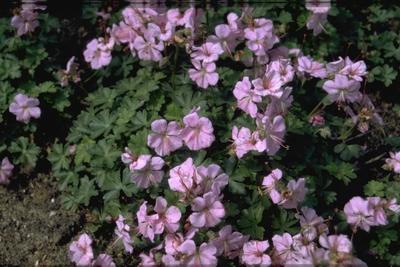 Ooievaarsbek - Geranium dalmaticum