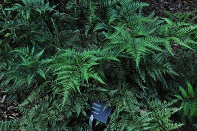 Japanse regenboogvaren - Athyrium niponicum 'Metallicum'