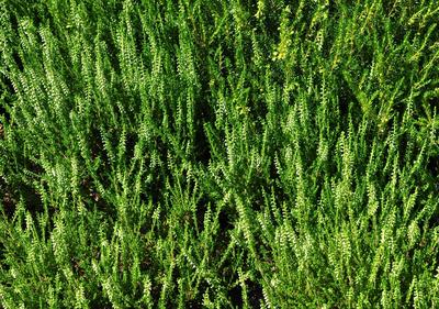 Struikhei - Calluna vulgaris 'Spring Cream'