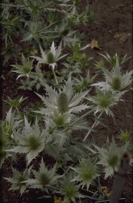 Ivoordistel - Eryngium giganteum 'Silver Ghost'
