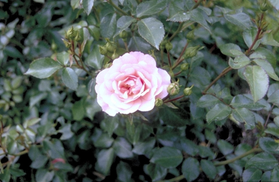 Trosroos - Rosa 'Bonica'