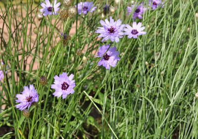 Blauwe strobloem - Catananche caerulea 'Major'