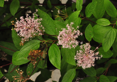 SlankeSleutelbloem - Primula elatior