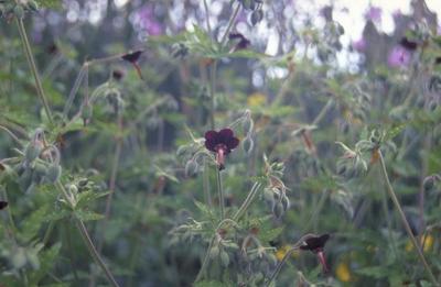 Ooievaarsbek - Geranium sinense