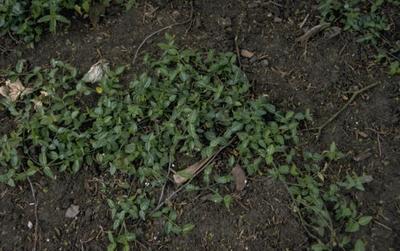 Japanse kardinaalsmuts - Euonymus fortunei 'Tustin'