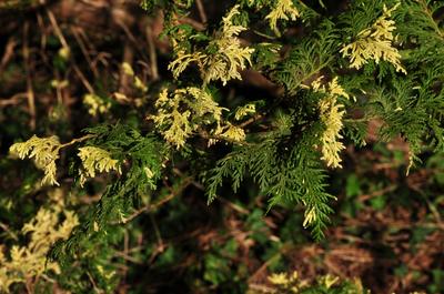 Japanse cipres - Chamaecyparis pisifera 'Nana'