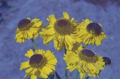 Zonnekruid - Helenium 'Wesergold'