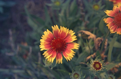 Kokardenbloem - Gaillardia 'Kobold'