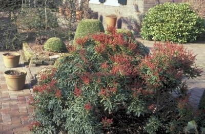 Rotsheide - Pieris japonica 'Little Heath Green'