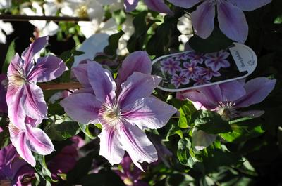 Clematis 'Bees' Jubilee'