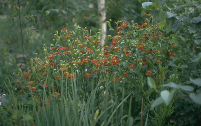 Zonnekruid - Helenium 'Rubinkuppel'