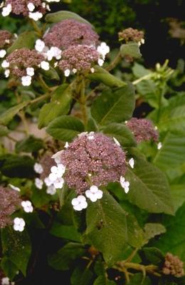 Hortensia - Hydrangea aspera subsp. sargentiana