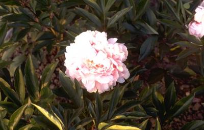Pioen Paeonia 'Sarah Bernhardt'