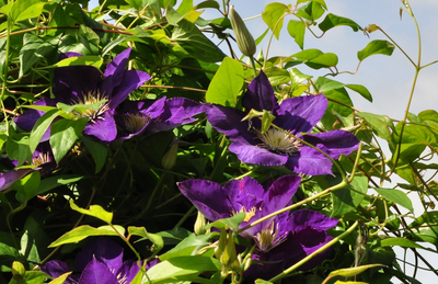 Clematis 'Lady Betty Balfour'