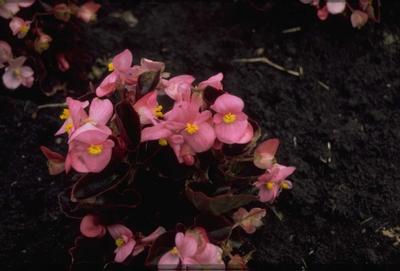 Scheefblad - Begonia semperflorens 'Pink'