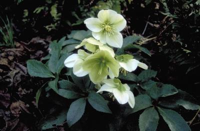 Kerstroos - Helleborus x nigricors 'White Beauty'