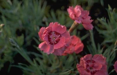 Rotsanjer - Dianthus gratianopolitanus 'Rotkäppchen'