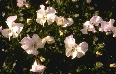 Viooltje - Viola 'White Superior'