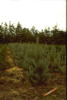 Pinus sylvestris 'Glauca'
