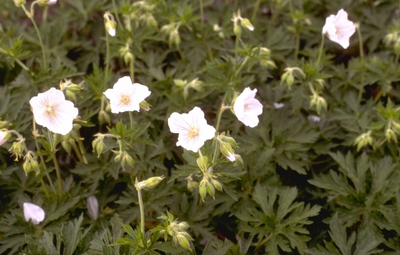 Beemdooievaarsbek - Geranium pratense f. albiflorum