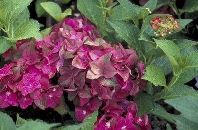 Hortensia - Hydrangea macrophylla 'AB Green Shadow'